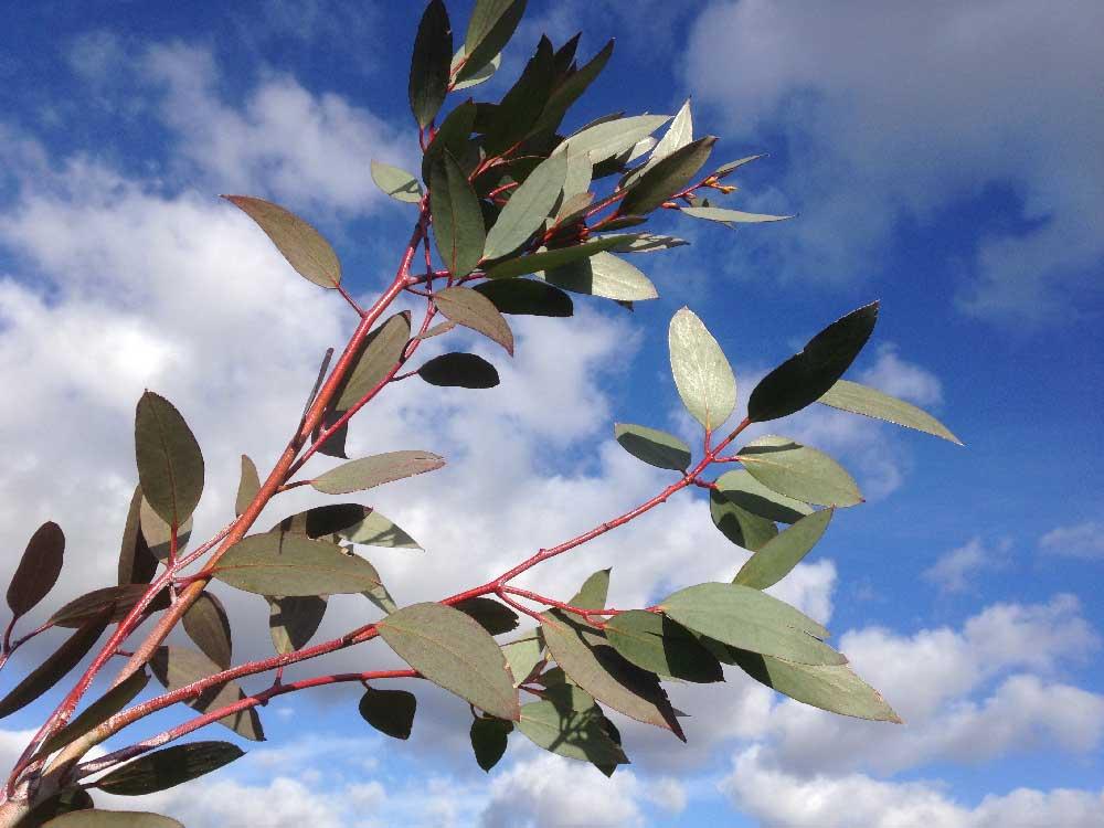 Eucalyptus-leaves-against-a-late-summer-sky